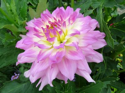 dahlia, Flower Garden Walk