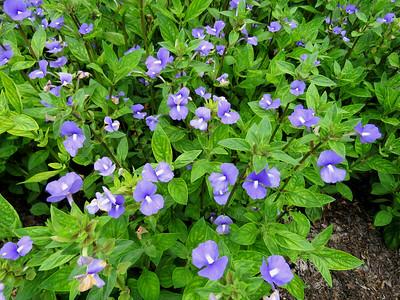 Otacanthus, Flower Garden Walk