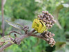 Goldenrod Crab Spider on milkweed, the Meadow Garden