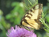 Eastern Tiger Swallowtail on thistle, the Meadow Garden