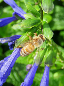 honey bee on Blue Sage, Flower Garden Walk