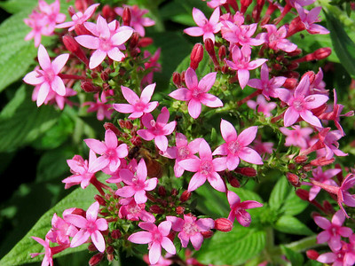 Egyptian Star-Cluster, Flower Garden Walk