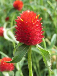 Globe-Amaranth, Flower Garden Walk