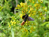 wasp on goldenrod, the Meadow Garden