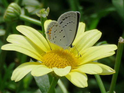 Eastern Tailed Blue on a Marguerite