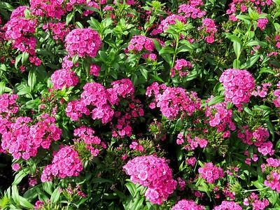 Dianthus, Flower Garden Walk