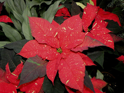 poinsettias  in Exhibition Hall