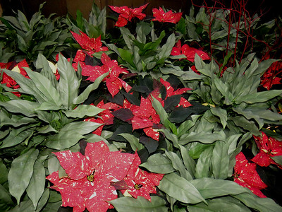 poinsettias and aglaonema  in Exhibition Hall