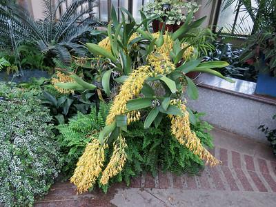 Dendrobium speciosum , the East Conservatory