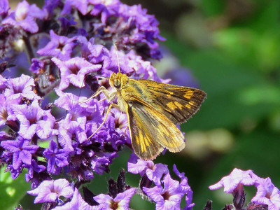 Peck's Skipper, Flower Garden Walk
