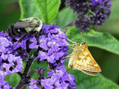 Peck's Skipper (and a bumblebee), Flower Garden Walk