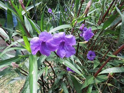 Britton's Wild Petunia,  Flower Garden Walk