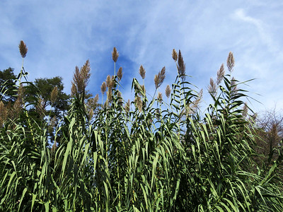 Giant Reed, Flower Garden Walk