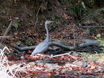 Great Blue Heron in the creek at the edge of the Meadow Garden