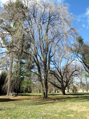 Weeping Higan Cherry, Oak and Conifer Knoll