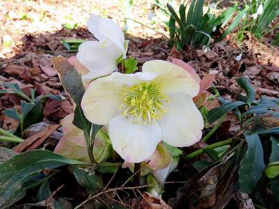 Christmas-rose, HIllside Garden
