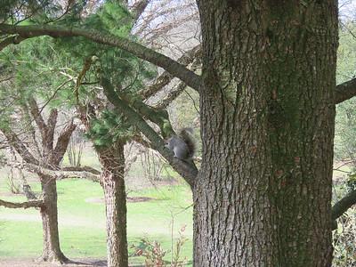 Eastern Gray Squirrel in a pine tree, Hillside Garden