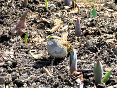 White-throated Sparrow, among the bulb sprouts on the Flower Garden Walk, March 20, 2019