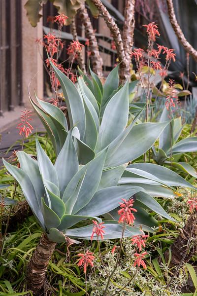 2-18-19 Agave attenuata 'Nova' & Aloe maculata - Longwood Gardens-5204