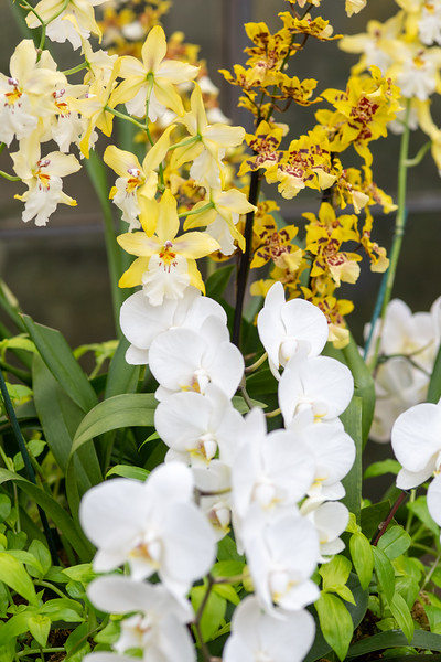 2-18-19 Acacia Passage Mixed Orchid Baskets - Longwood Gardens-5266