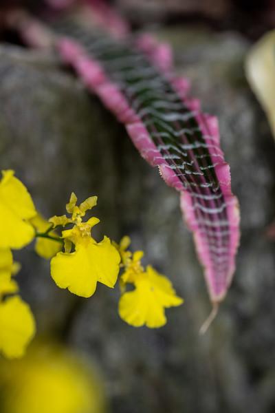 2-18-19 Cryptanthus fosterianus 'Elaine' - Longwood Gardens-5193