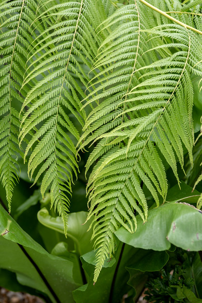 2-18-19 Cibotium schiedei - Fern Passage - Longwood Gardens-5167