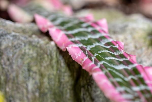 2-18-19 Cryptanthus fosterianus 'Elaine' - Longwood Gardens-5190