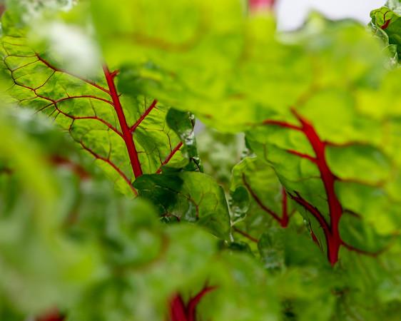 2-18-19 Beta vulgaris 'Ruby Red' - Estate Fruit House - Longwood Gardens-5156