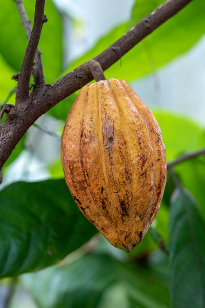 2-18-19 Theobroma cacao - Cacao - Longwood Gardens-5198
