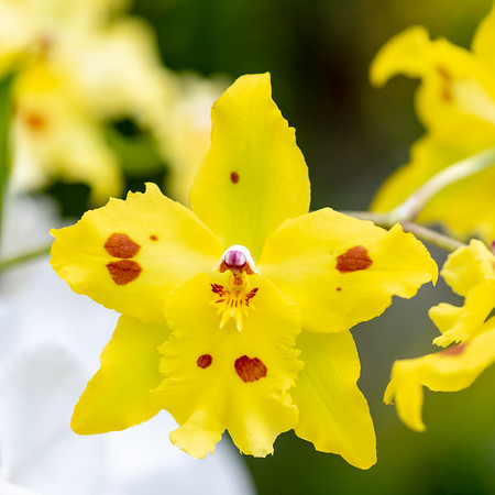 2-18-19 Acacia Passage Unknown Orchid - Longwood Gardens-5262