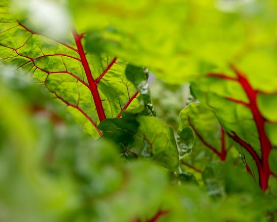 2-18-19 Beta vulgaris 'Ruby Red' - Estate Fruit House - Longwood Gardens-5154