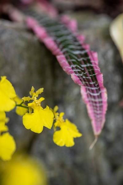 2-18-19 Cryptanthus fosterianus 'Elaine' & Oncidium - Longwood Gardens-5193
