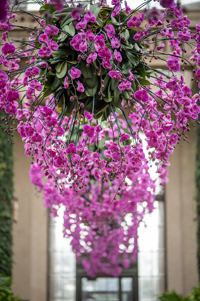 2-18-19 Orchid Hanging Baskets - Longwood Gardens-5227