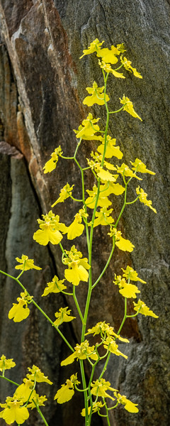 2-18-19 Oncidium - Longwood Gardens-5185