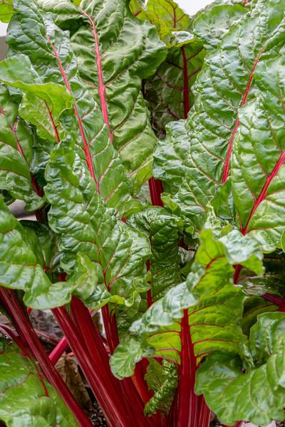 2-18-19 Beta vulgaris 'Ruby Red' - Estate Fruit House - Longwood Gardens-5160