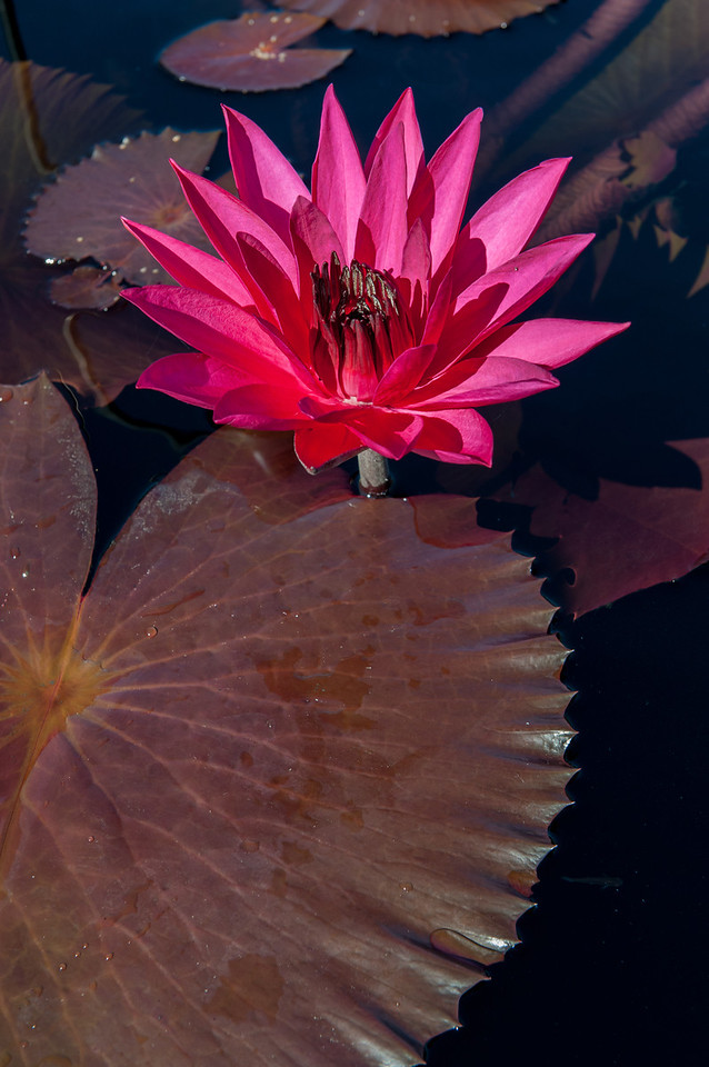 7-29-30 Nymphaea 'Red Flare'-411