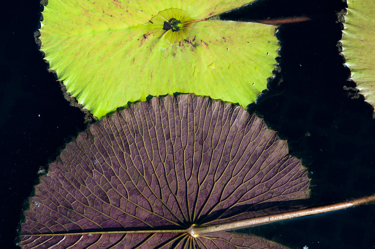 7-29-30 Nymphaea lotus var  dentata-357