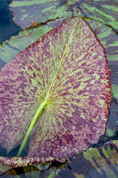8-6-13 Nymphaea 'Miami Rose'-77