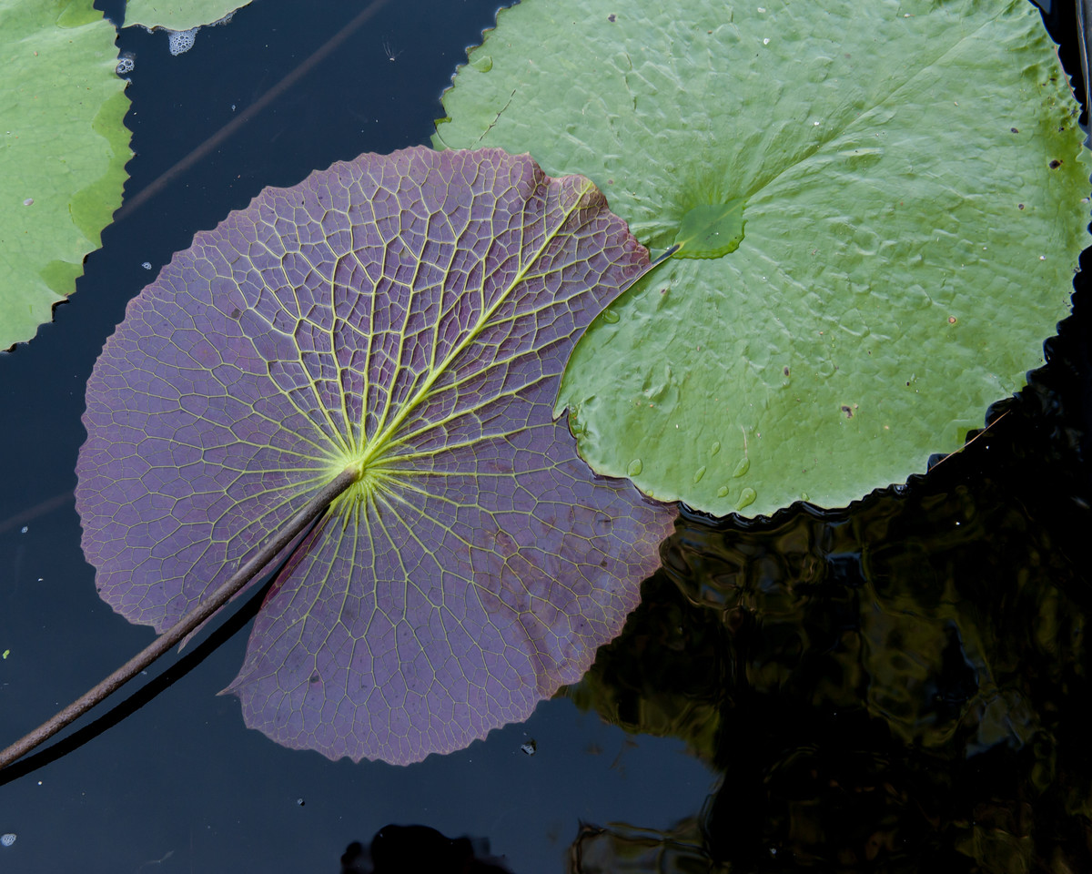 7-29-30 Nymphaea 'Lone Star'-379