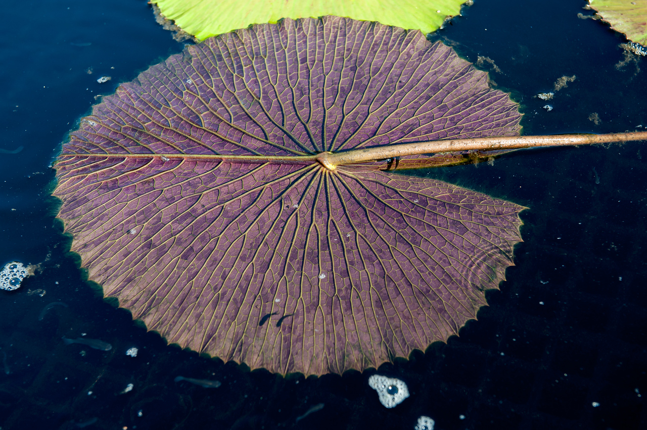 7-29-30 Nymphaea lotus var  dentata-355
