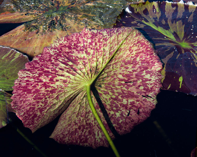 7-29-30 Nymphaea 'Miami Rose'-373