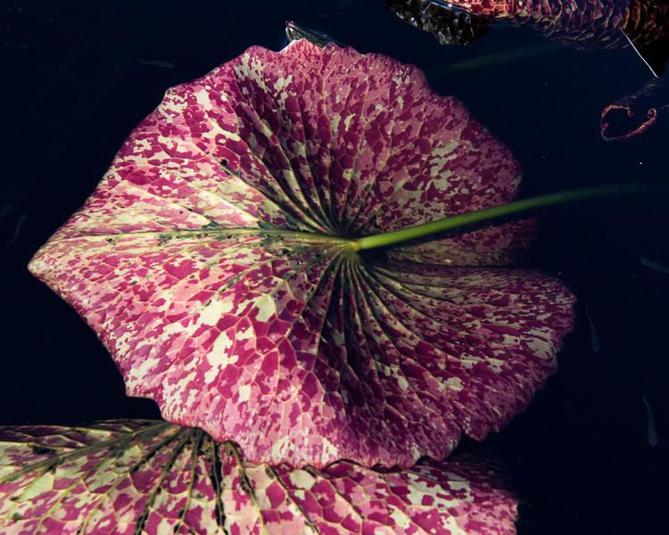 7-29-30 Nymphaea 'Miami Rose'-371