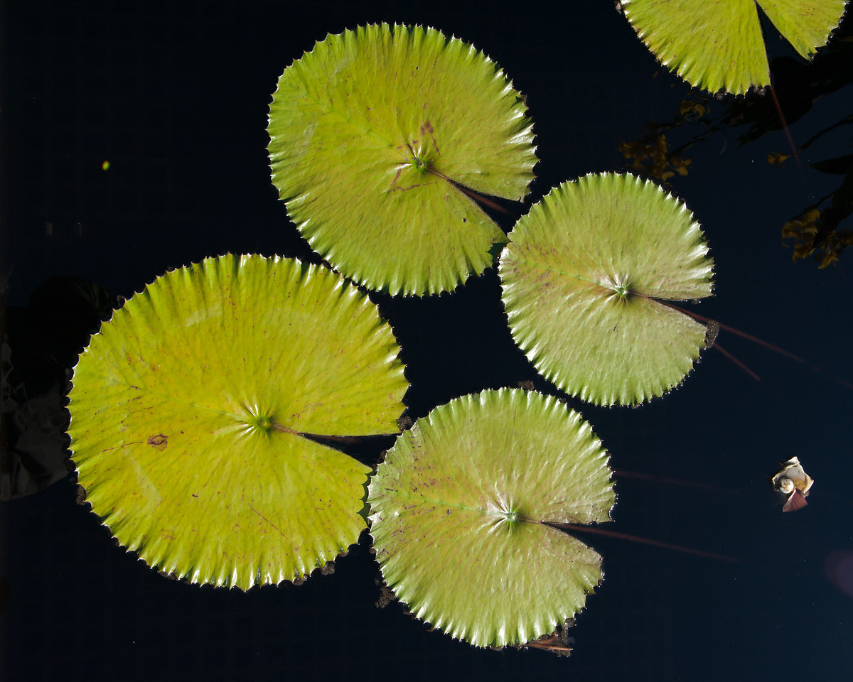 7-29-30 Nymphaea lotus var  dentata-352
