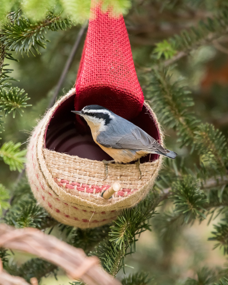 11-26-16 Red-breasted Nuthatch - Christmas Wildlife Tree-103