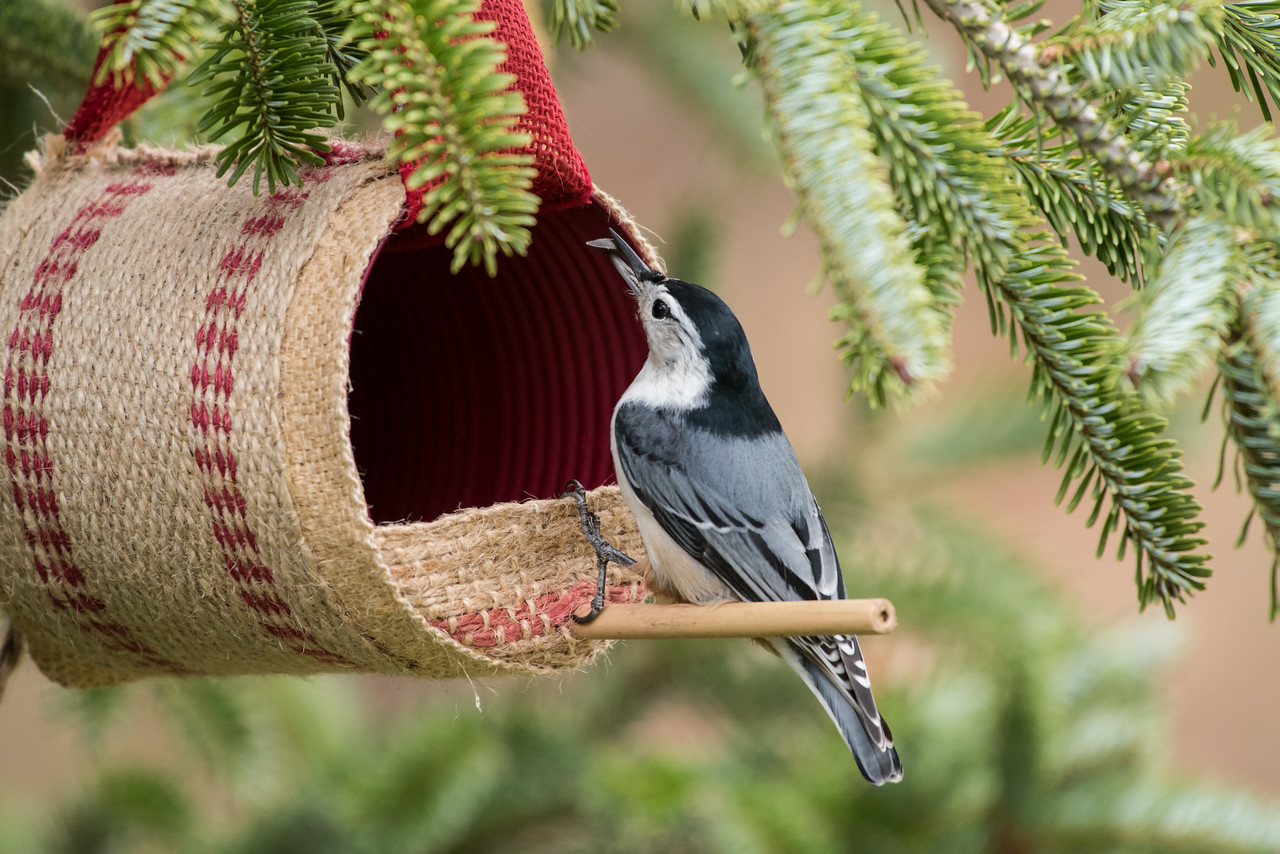 11-26-16 White-breasted Nuthatch - Christmas Wildlife Tree-49