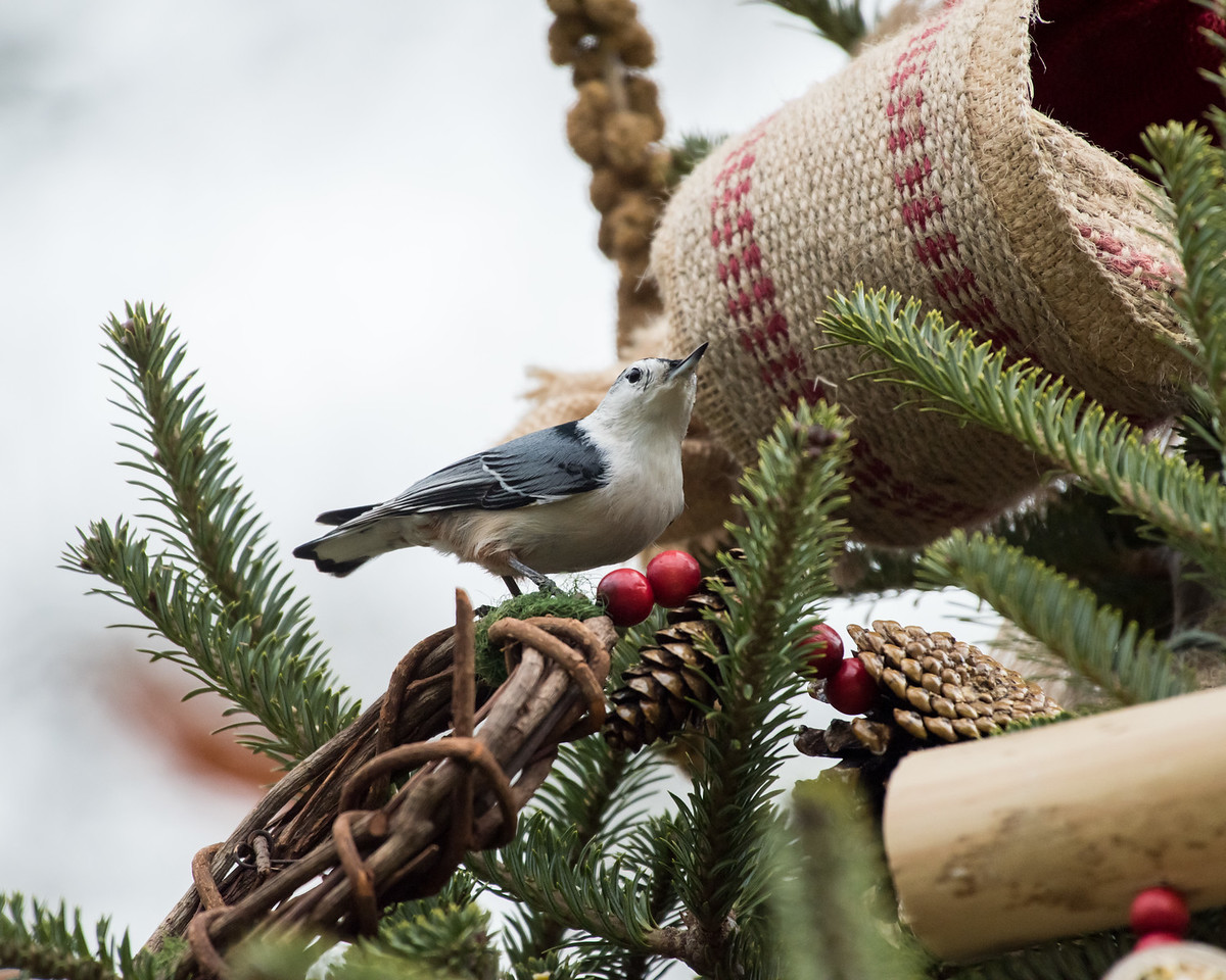 11-26-16 White-breasted Nuthatch - Christmas Wildlife Tree-38