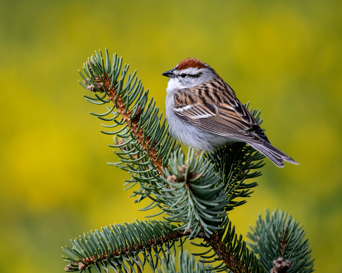 4-5-18 Chipping Sparrow-1219