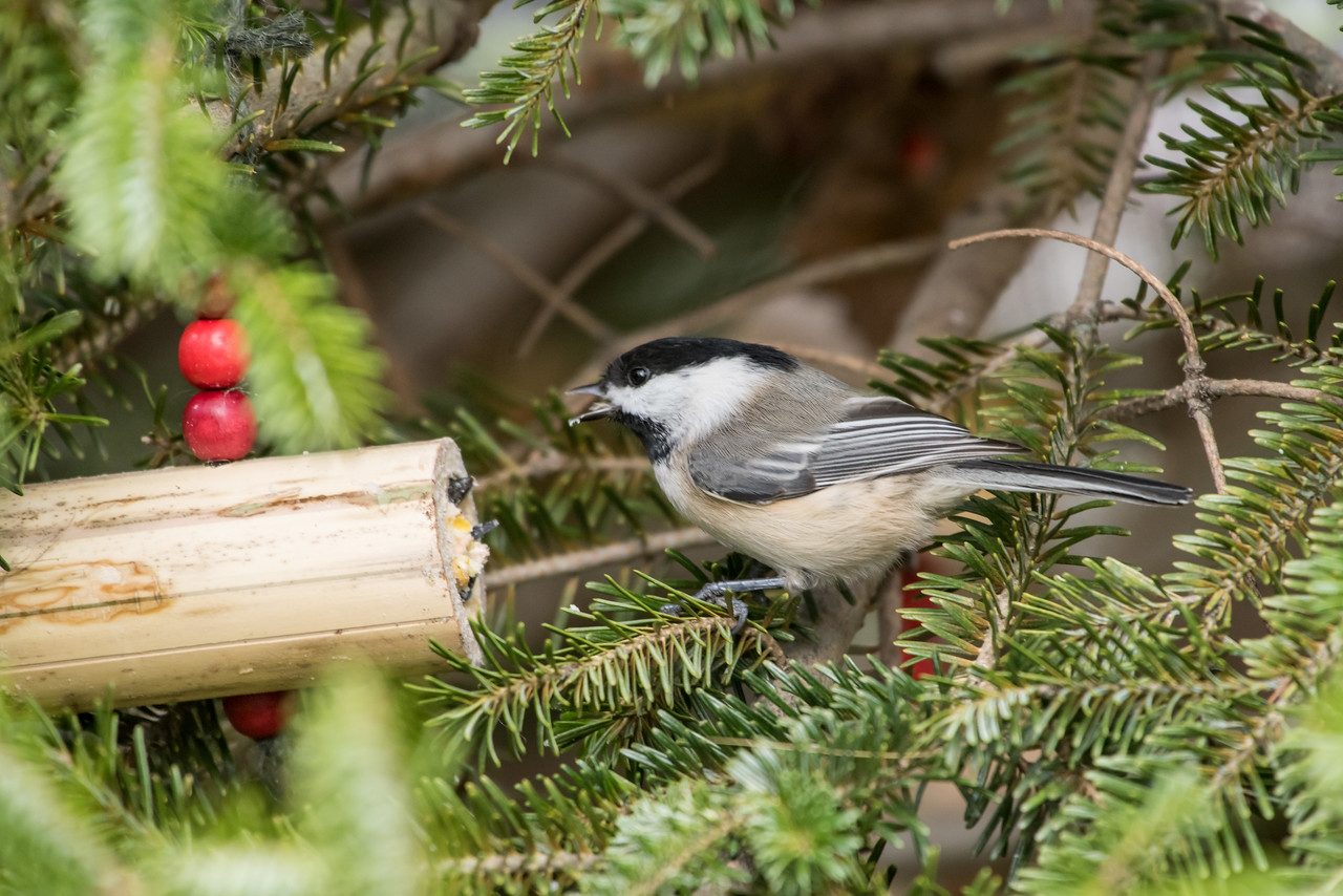 11-26-16 Carolina Chickadee - Christmas Wildlife Tree-36