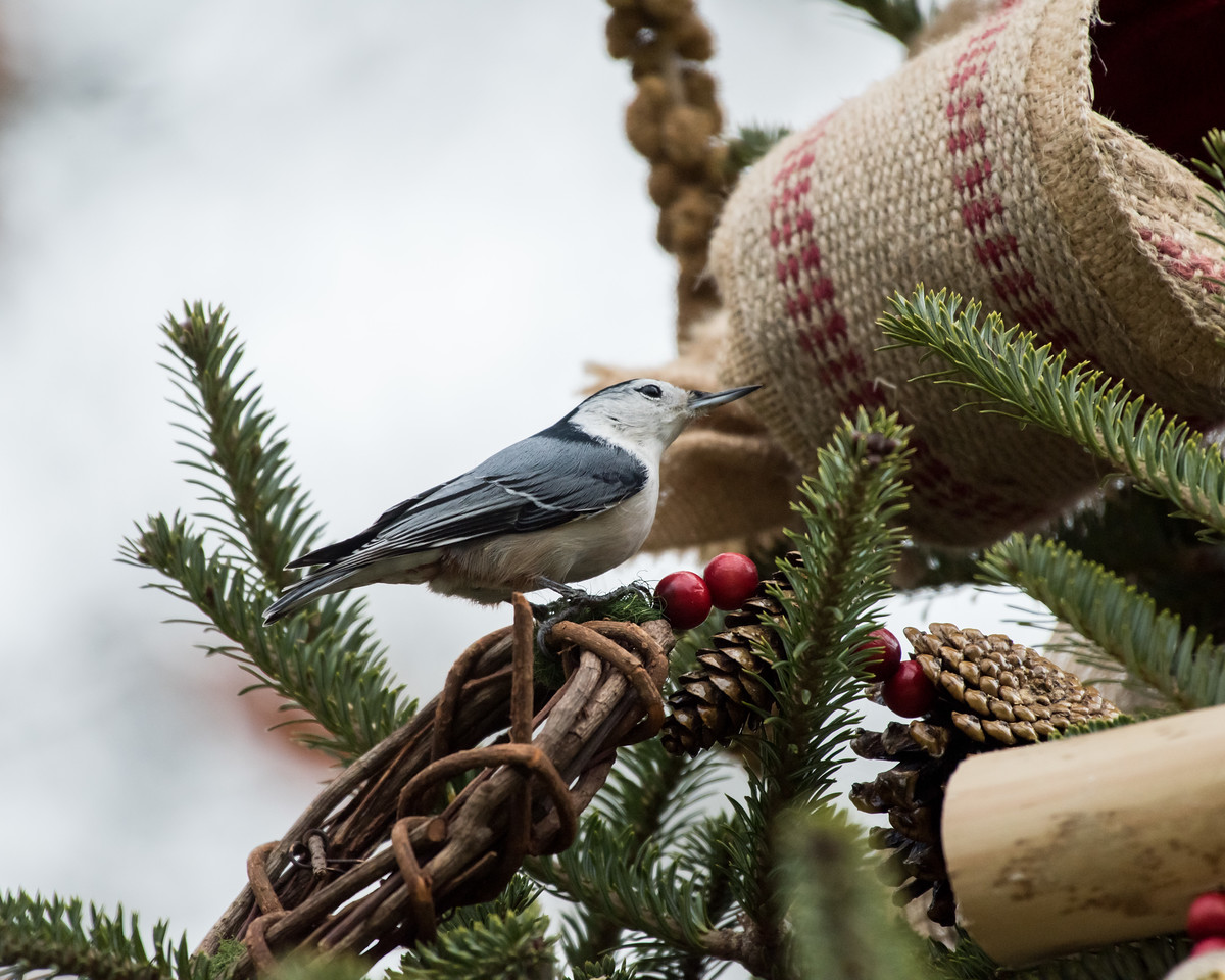 11-26-16 White-breasted Nuthatch - Christmas Wildlife Tree-41