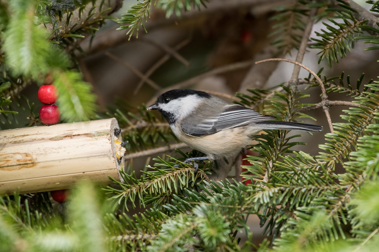 11-26-16 Carolina Chickadee - Christmas Wildlife Tree-35